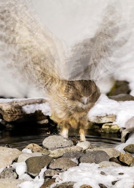 Blakiston Fish Owl in Rausu