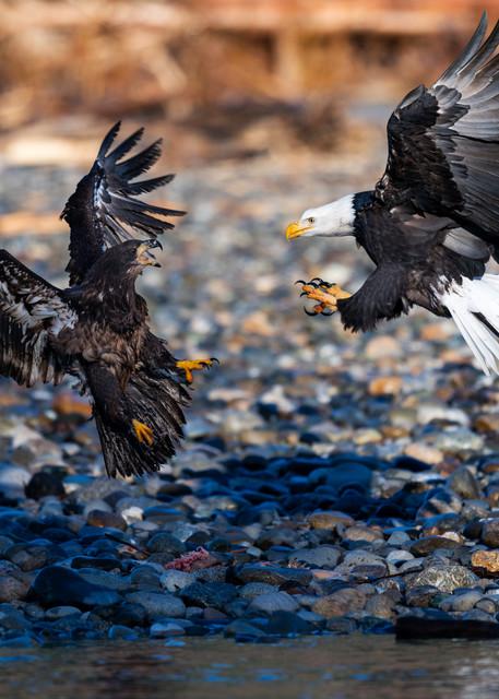 Bald eagles It is mine