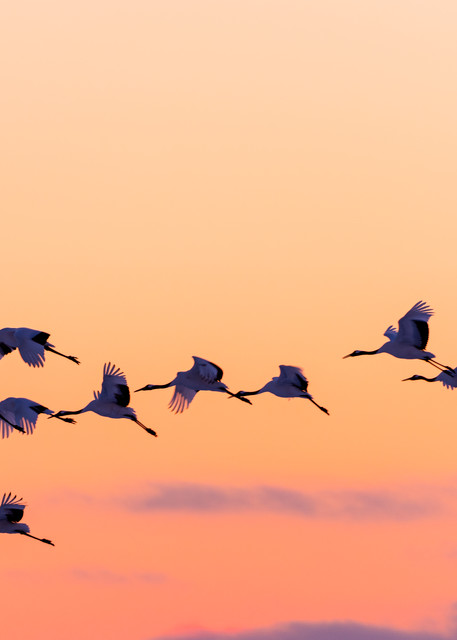 Red Crowned Cranes Sunset Flight Photography Art | Seattle Digital Photography
