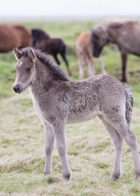 Icelandic Foal Art | Sierra Luna Photography