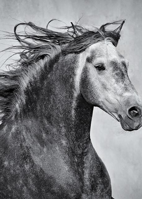 Moroccan Stallion In Profile Art | Sierra Luna Photography