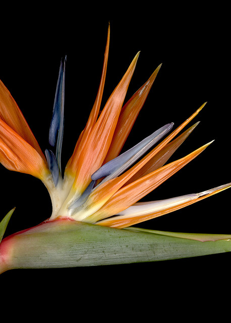Bird of Paradise H Photo Print