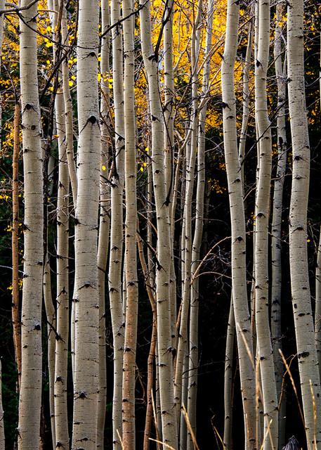 Aspen Trees Fall Lines Photo Print