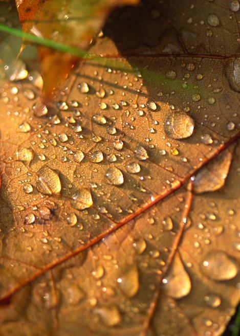 Morning Dew on Oak Leaf photograph for sale as Fine Art