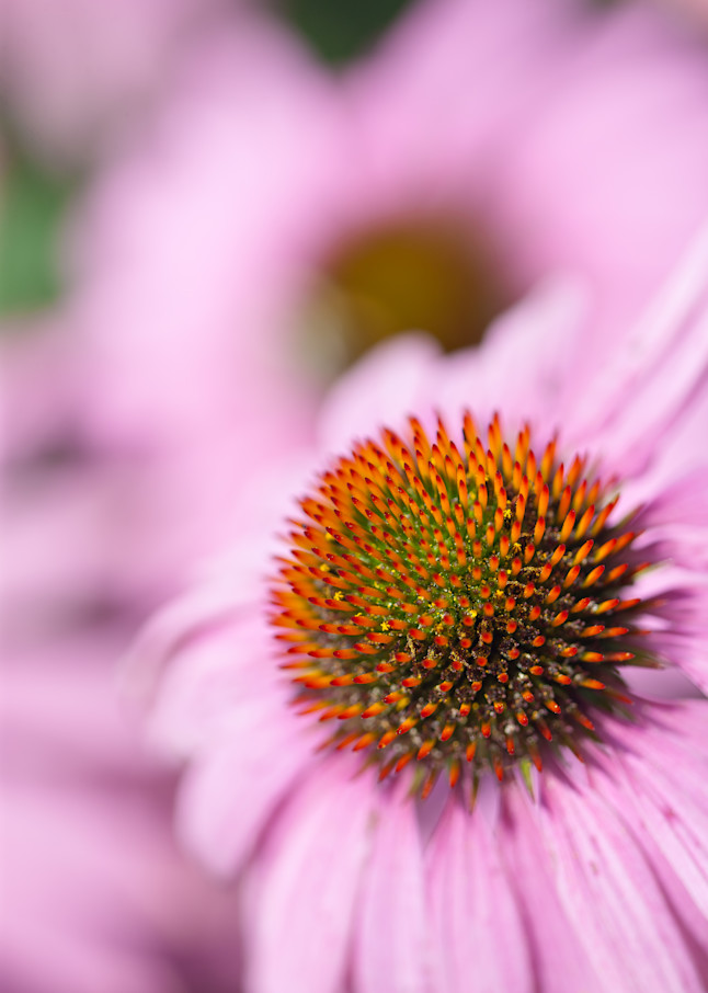 Colorful Pink Coneflowers in full bloom - shop fine art photographs