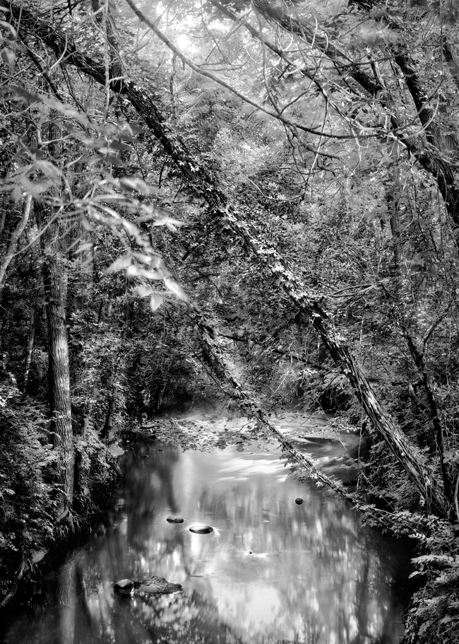 If You Love Trees Collection -bw   Shunga Creek. This beautiful image of trees over a summer stream is by fine art photographer, David Zlotky.