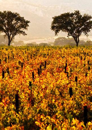 Twin Oaks in Fall by Josh Kimball Photography
