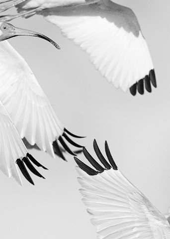 white ibis birds in flight black and white photograph
