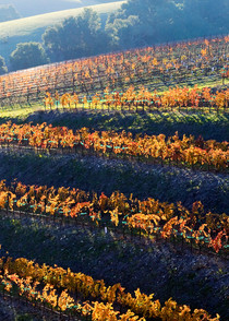 Terraced Autumn Vineyard by Josh Kimball Photography