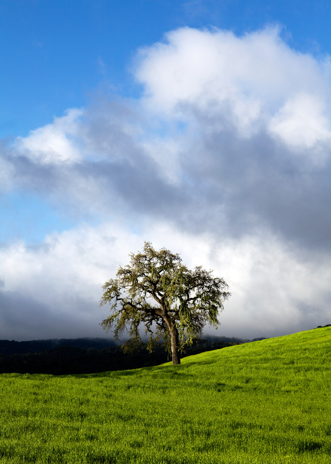 Springtime Meadow Oak by Josh Kimball Photography