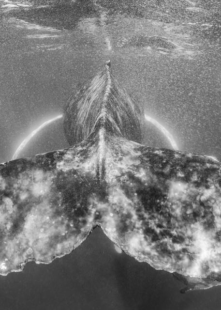 Humpback Fluke BW, Sea of Cortez, Mexico