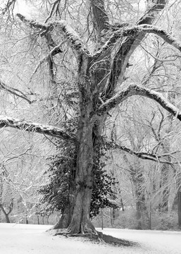If You Love Trees Collection - bw   Grand Old Man -bw. Fine Art, black and white photograph of a snow-bowed old tree by David Zlotky.