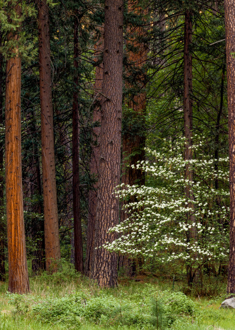 Lone Dogwood Photography Art   Gale Ensign Photography