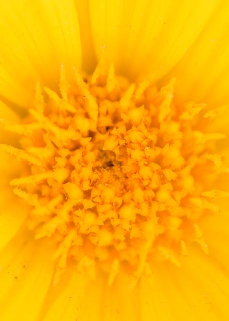 Desert Sunflower Detail, Borrego Springs, California