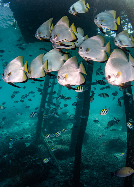 Batfish Under a Jetty is a fine art photograph for sale.
