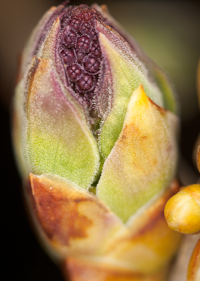 Close-up of lilac leaf and flower bud - fine art macro photograph
