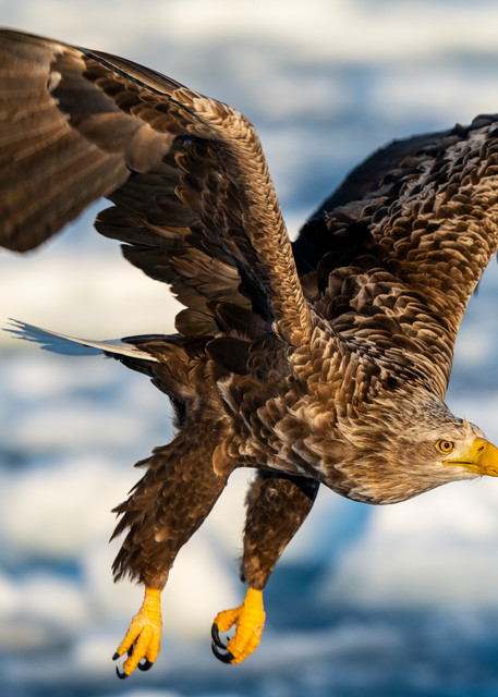 White tailed eagle and drift ice
