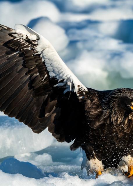 A stellar sea eagle is landing