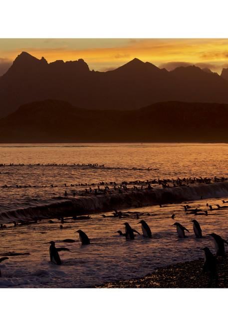 King Penguins at sunset on Salisbury Plain, South Georgia.