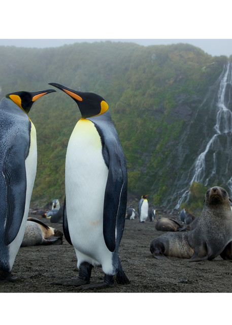 Photo of King Penguins, Antarctic Fur Seals, and waterfall on South Georgia.