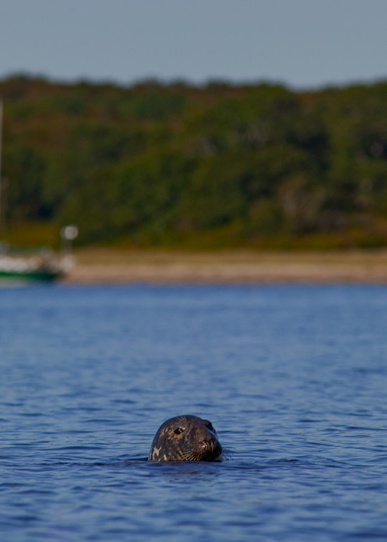 Harbor Seal Naushon