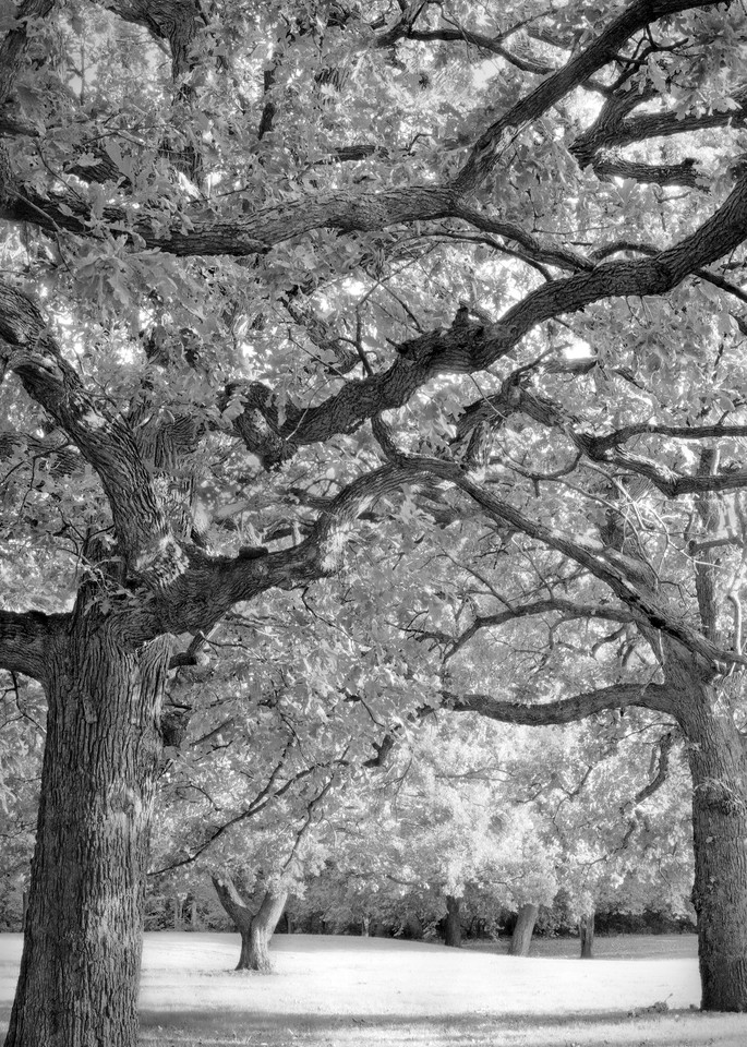If You Love Trees Collection - bw   Oaks in the Park -bw. Stately oak trees. Fine art black and white photograph by David Zlotky.