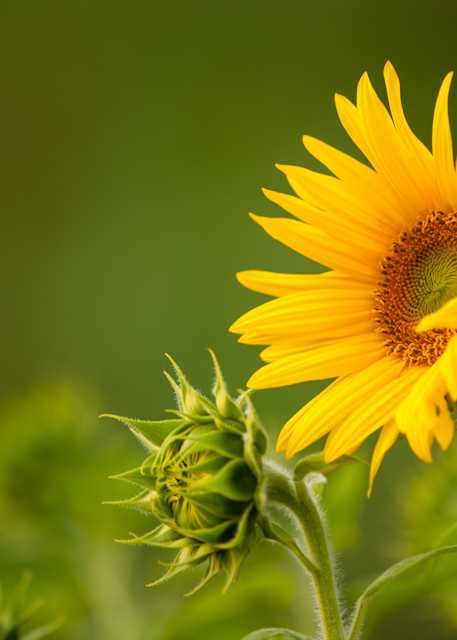 Young Sunflower heads photograph for sale as Fine Art