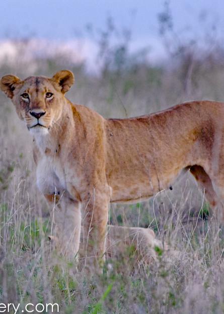 lioness photograph