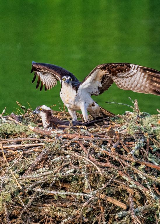 Watchful Osprey photography print