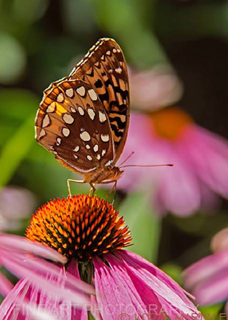 Butterfly on Coneflower 4274 | Butterfly Photography | Koral Martin Fine Art Photography