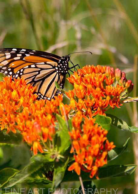 monarch butterfly Milkweed Photograph 5148 C | Butterfly Photography | Koral Martin Fine Art Photography