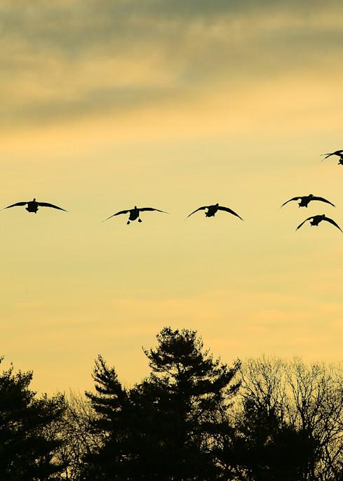 Geese at Morning