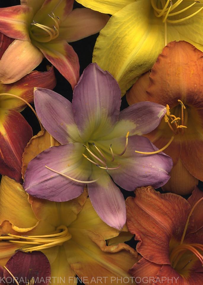 Daylily Medley  | Flower Photography | Koral Martin Fine Art Photography