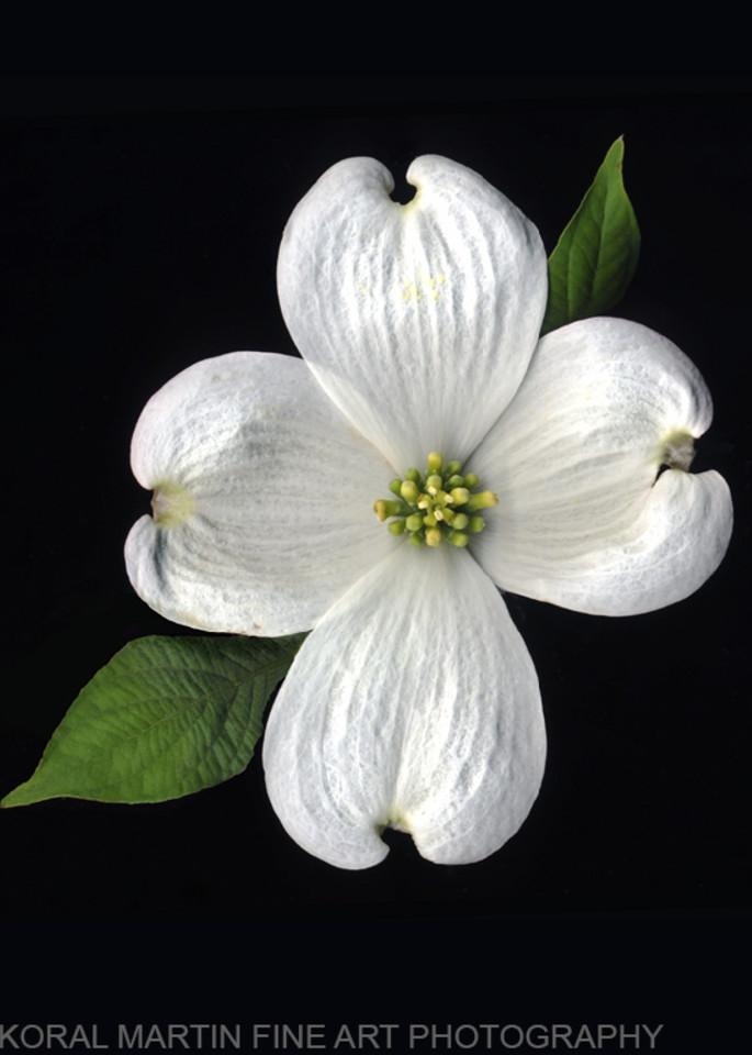 Dogwood Bloom  | Flower Photography | Koral Martin Fine Art Photography
