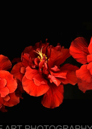 Hibiscus row  | Flower Photography | Koral Martin Fine Art Photography