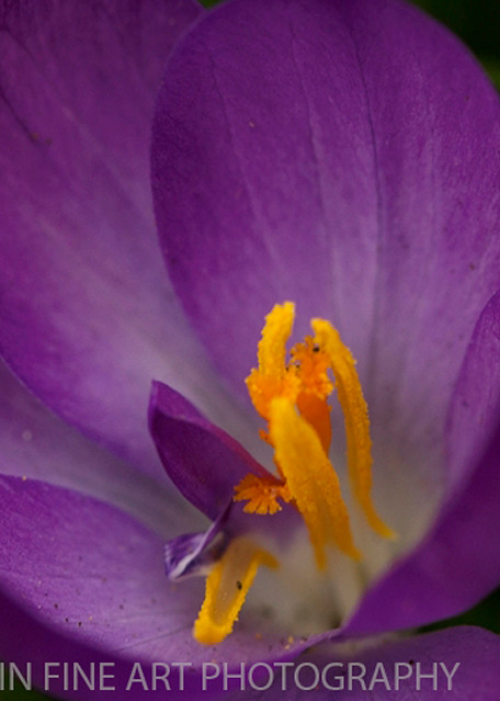 Crocus Photograph 2359   | Flower Photography | Koral Martin Fine Art Photography