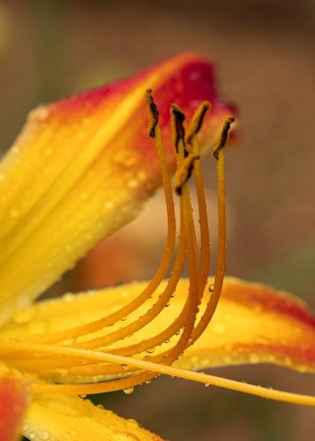 Daylily  4314 SBG    Photograph | Flower  Photography |  Koral Martin Fine Art Photography