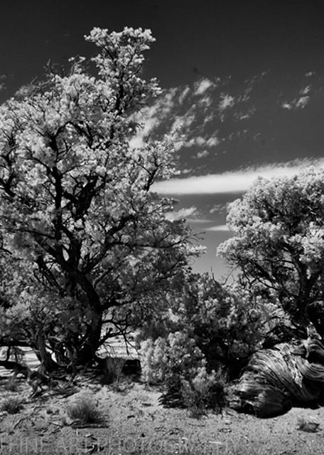 Infrared Bristol Cone Pine Photograph 5657  | Infrared Photography | Koral Martin Fine Art Photography