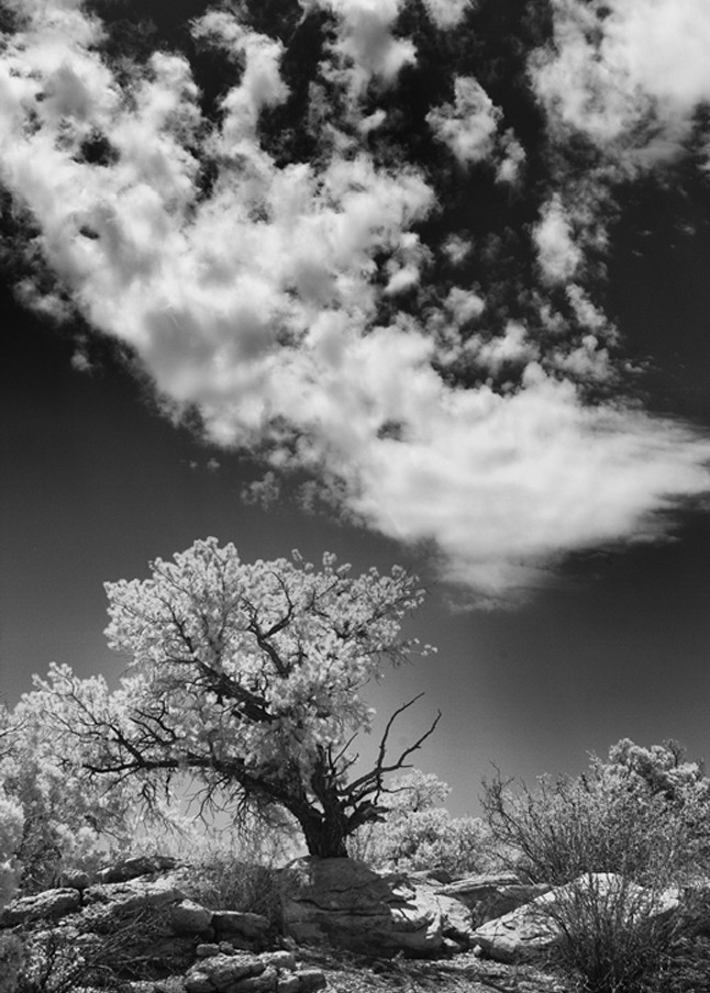 Infrared Bristol Cone Pine Photograph 5662  | Infrared Photography | Koral Martin Fine Art Photography