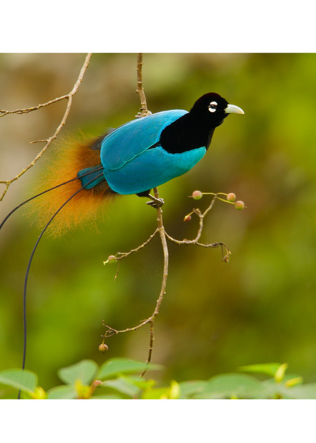 Blue Bird-of-Paradise perches on a slender branch.