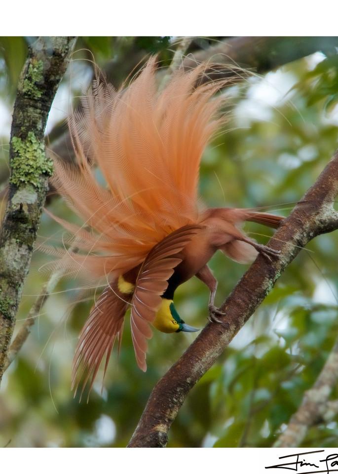 Plume Explosion   Raggiana Bird Of Paradise Photography Art | Tim Laman