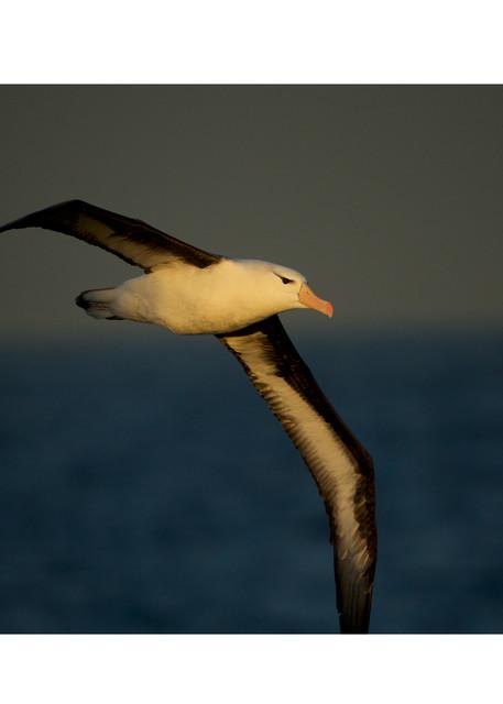A Black-browed albatross in flight over the Beagle Channel Tierra del Fuego, Argentina.