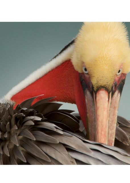 Portrait of a Brown Pelican Preening.