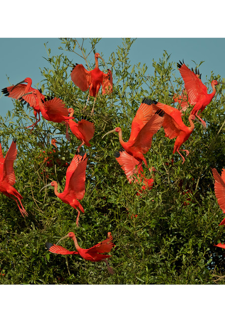 A flock of Scarlet Ibises leaving in a mangrove tree.