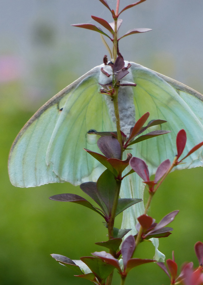 Luna Moth Side 2 | Tom Nolan | Roost Artist