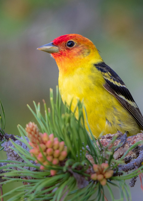 Summer Tanager (2052)