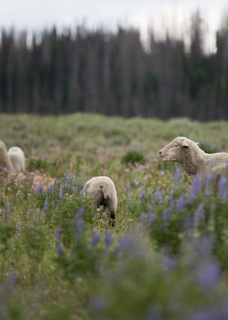Utah Higland Herd Photography Art | Nathan Larson Photography