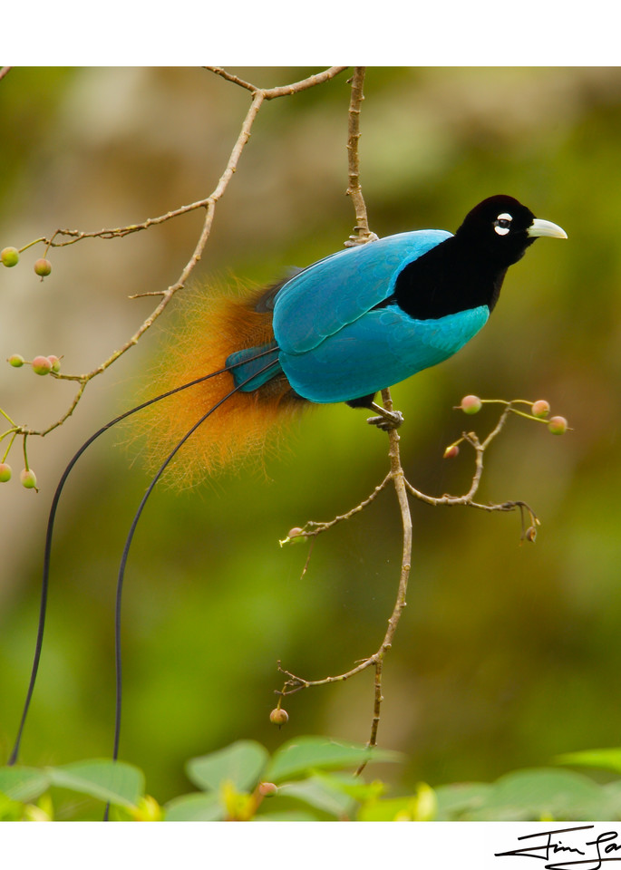 Square version of Blue Bird-of-Paradise in Fruiting Tree