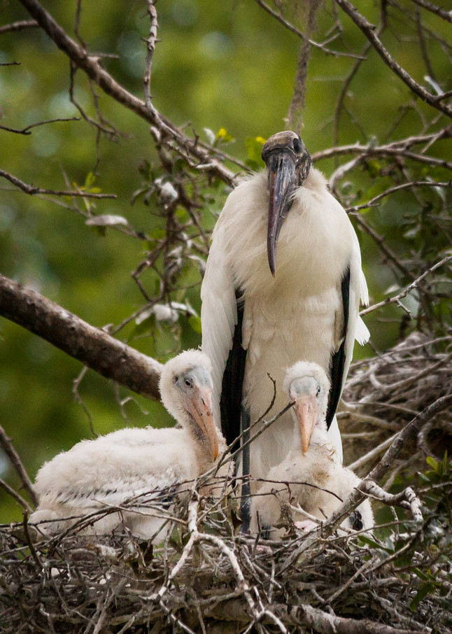 Wood Storks in the Nest