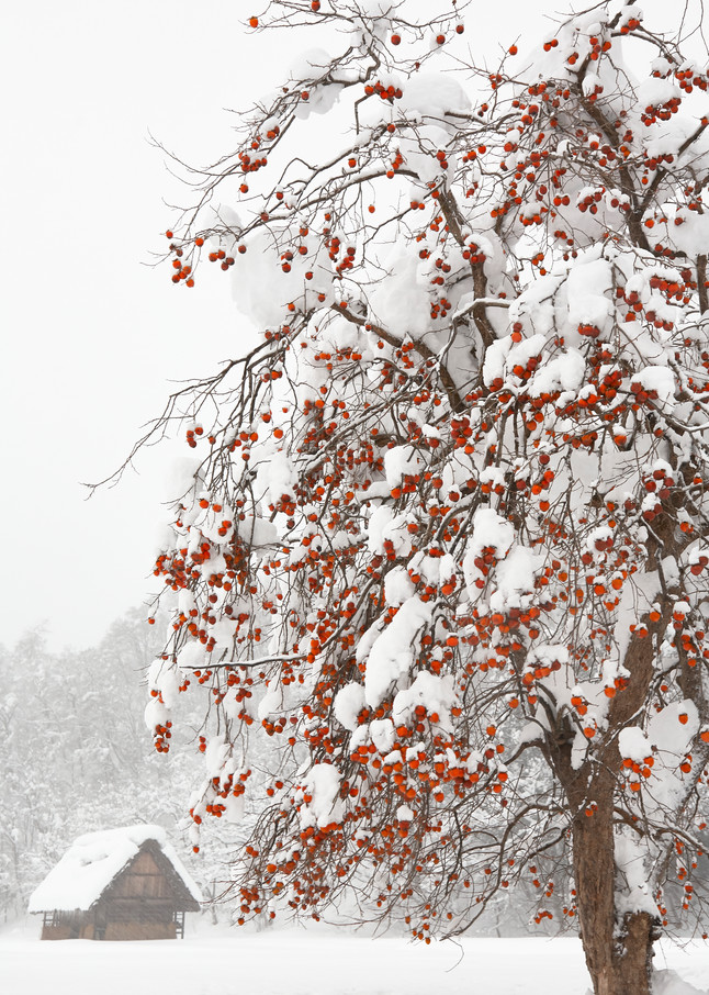 Winter Persimmon Tree